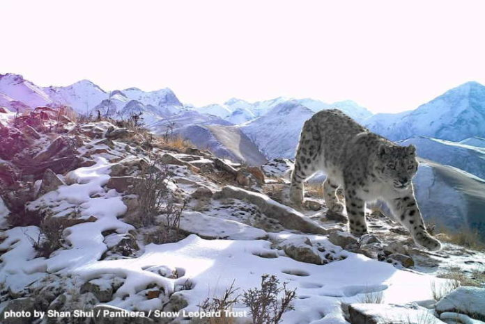 Problem One of many World's Biggest Plane Designers to Assist Save Snow Leopards - sUAS Information 5